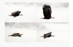 A quattro fasi del volo di un'aquila Fotografia Stock Libera da Diritti