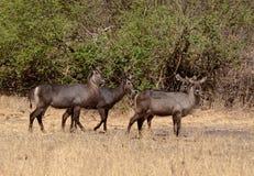Quattro femmina Waterbucks Kenya Tom Wurl Immagini Stock Libere da Diritti