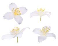 Quattro fiori del gelsomino isolati su bianco Immagine Stock
