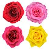 Quattro fiori della Rosa isolati su bianco Fotografia Stock Libera da Diritti