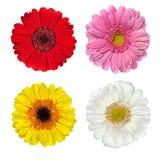 Quattro fiori freschi del Gerbera isolati su bianco Fotografia Stock Libera da Diritti