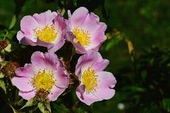 Quattro fiori rosa dell'arbusto Rosa Inodora rosa del parco Fotografie Stock