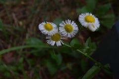 Quattro fioriture del wildflower del fleabane su esposizione immagini stock