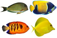 Quattro Fishs tropicale (su bianco) Fotografia Stock