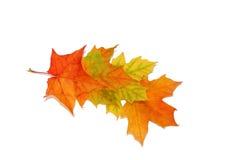Quattro foglie di acero Fotografia Stock Libera da Diritti