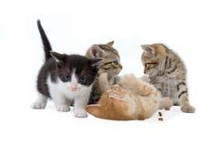 Quattro fratelli del gattino (5 settimane) Immagine Stock
