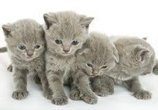 Quattro gattini sopra bianco Fotografie Stock Libere da Diritti