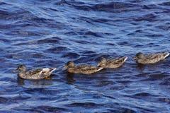 Quattro giovani anatre che galleggiano sul lago fotografie stock libere da diritti