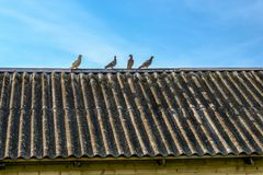 Quattro giovani uccelli del piccione sul vecchio tetto della casa su un cielo blu nel fondo Immagine Stock