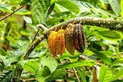 Quattro grandi fagioli del cacao che pendono dal ramo di albero del cacao Fotografie Stock Libere da Diritti