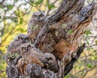 Quattro grandi giovani civette cornute al loro nido immagine stock