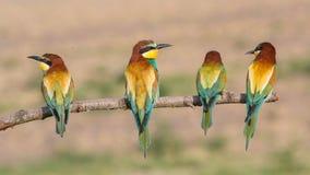 Quattro gruccioni in una fila Fotografia Stock Libera da Diritti
