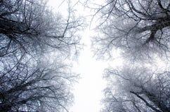Quattro l'albero Gaurdians dell'inverno Bressingham Diss Norfolk Fotografia Stock