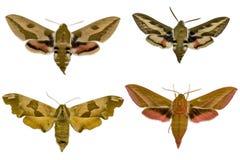 Quattro lepidotteri Fotografia Stock