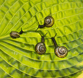 Quattro lumache di giardino stanno strisciando con un verde Fotografie Stock Libere da Diritti