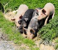 Quattro maiali in una grondaia Immagini Stock