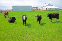 Quattro mucche e un cavallo su un'azienda agricola di Midwest Fotografia Stock Libera da Diritti