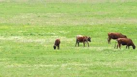 Quattro mucche sul campo mangiano l'erba verde stock footage