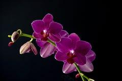 Quattro orchidee Immagine Stock