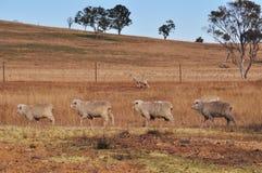 Quattro pecore che camminano in una riga in un recinto chiuso asciutto dell'azienda agricola Immagini Stock Libere da Diritti