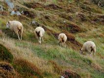 Quattro pecore che pascono in un prato fotografia stock