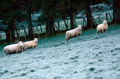 Quattro pecore si affollano in un recinto chiuso di una stazione dell'allevamento di pecore Fotografia Stock Libera da Diritti