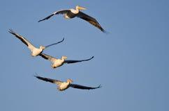 Quattro pellicani bianchi americani che volano in un cielo blu Fotografie Stock