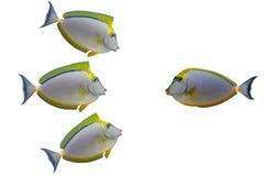 Quattro pesci tropicali isolati Fotografia Stock