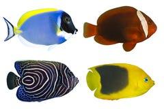 Quattro pesci tropicali isolati Fotografia Stock Libera da Diritti