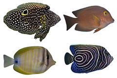 Quattro pesci tropicali isolati Immagine Stock Libera da Diritti