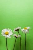 Quattro piccoli fiori della margherita su fondo strutturato verde chiaro Immagine Stock