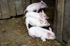 Quattro piccoli maiali rosa Animali neonati Fotografie Stock Libere da Diritti