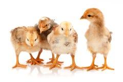 Quattro piccoli polli che stanno sul bianco Fotografia Stock Libera da Diritti