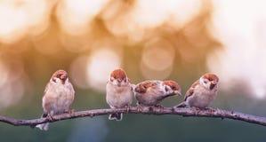 Quattro piccoli uccelli divertenti del passero in primavera parcheggiano la seduta sulla a immagine stock