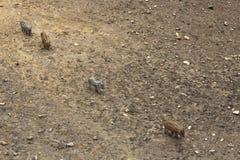 Quattro porcellini selvaggi del soriano lanuginoso che si seguono Fotografia Stock