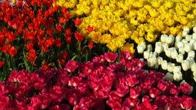 Quattro quadrati dei tulipani in Tulip Field fotografia stock libera da diritti