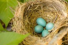 Quattro Robin Eggs in un nido Fotografia Stock