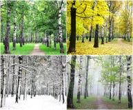 Quattro stagioni degli alberi di betulla di fila Immagine Stock