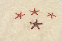 Quattro stelle marine rosse Immagine Stock Libera da Diritti