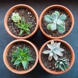 Quattro succulenti conservati in vaso in un quadrato Fotografia Stock