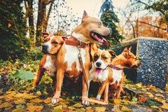 Quattro terrier di Staffordshire Cani di famiglia di quattro che si siedono in natura in autunno fotografie stock libere da diritti