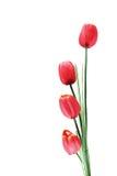 quattro tulipani rossi artificiali isolati su bianco Immagine Stock Libera da Diritti