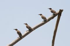 Quattro uccelli che si siedono in una riga fotografia stock