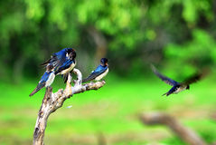 Quattro uccelli su una pertica Immagine Stock Libera da Diritti