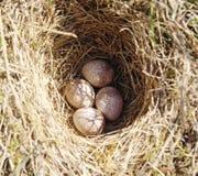 Quattro uova dell'allodola in nido su terra Fotografia Stock