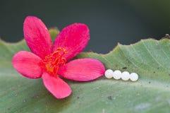 Quattro uova della farfalla Fotografia Stock Libera da Diritti