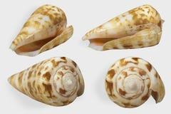 Quattro viste della conchiglia eterogenea del cono su fondo bianco isolato Fotografia Stock
