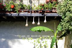 Quattro zucche appendono la bottiglia che secca il lagenaria siceraria dell'India Occidentale della zucca asiatica sta appendendo Fotografia Stock
