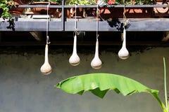 Quattro zucche appendono la bottiglia che secca il lagenaria siceraria dell'India Occidentale della zucca asiatica sta appendendo Immagine Stock