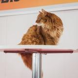 在Quattrozampeinfiera的美丽的猫在米兰,意大利 库存图片